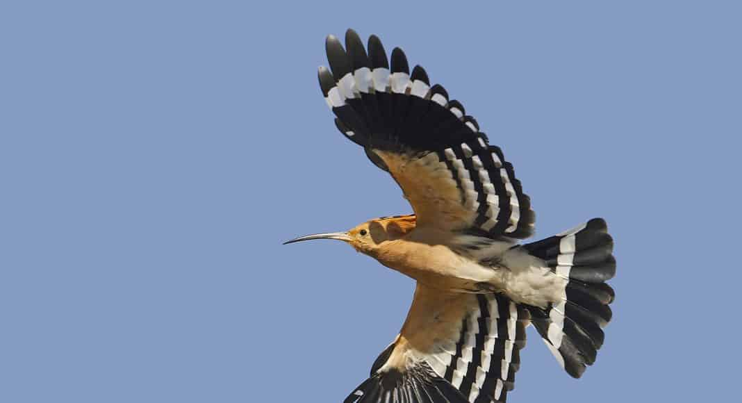 Der Vogel Wiedehopf ziert das Titelbild des brutvogelatlases.