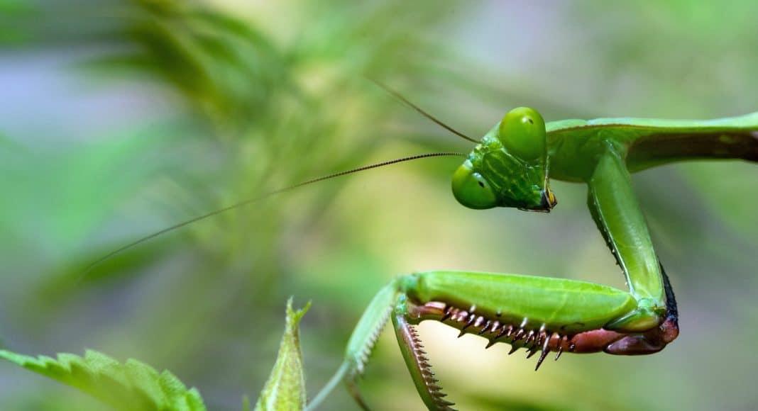 Das Insektensterben nimmt zu, auch die Gottesanbeterin ist davon betroffen.