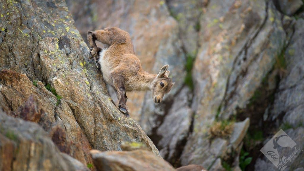 Ein junger Steinbock klettert eine Felswand hinunter.