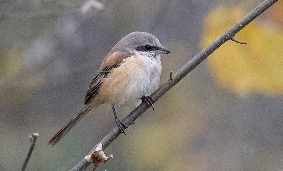 Erstentdeckung des Singvogels in der Schweiz.