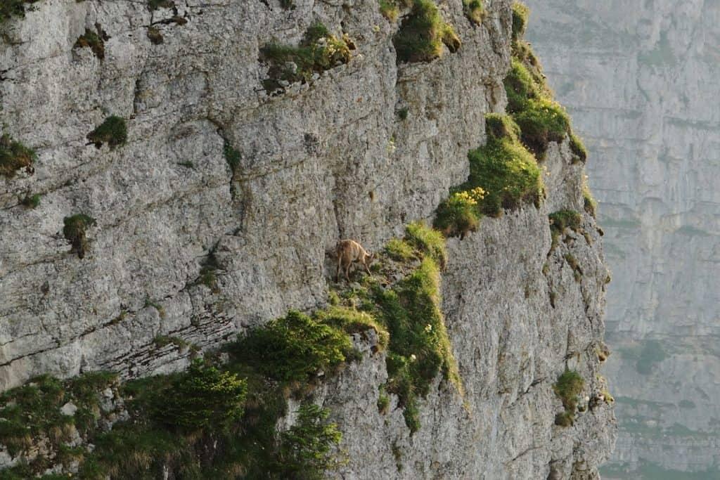 Eine Gämse sucht ihren Weg in einer vertikalen Felswand.