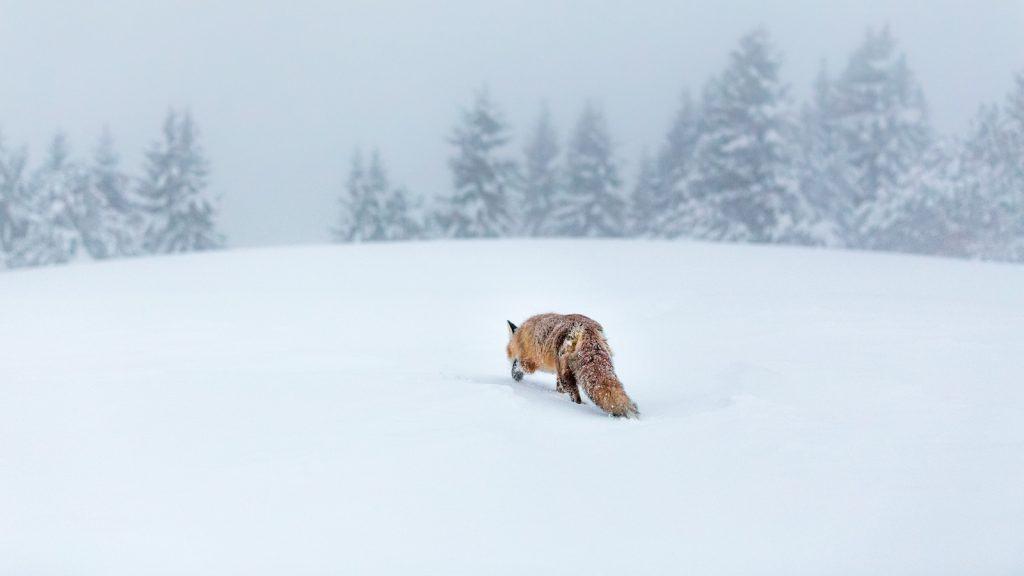 Ein schnürender Fuchs im tiefen Schnee.