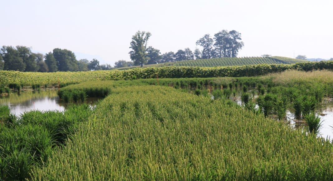 Reis soll vermehrt in dee Landwirtschft angebaut werden.