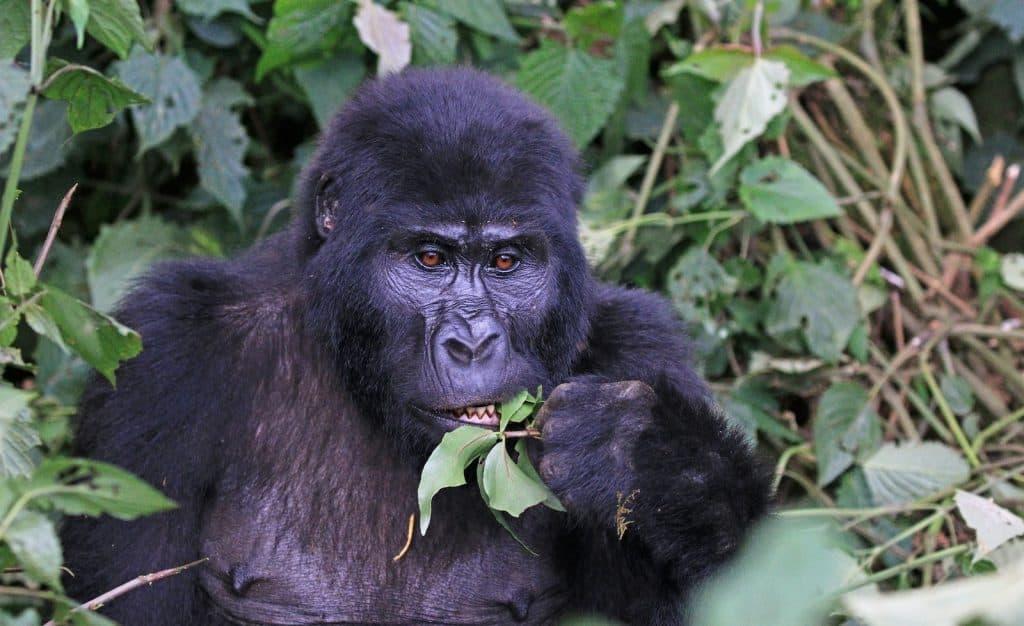 Berggorilla - Gorilla beringei beringei