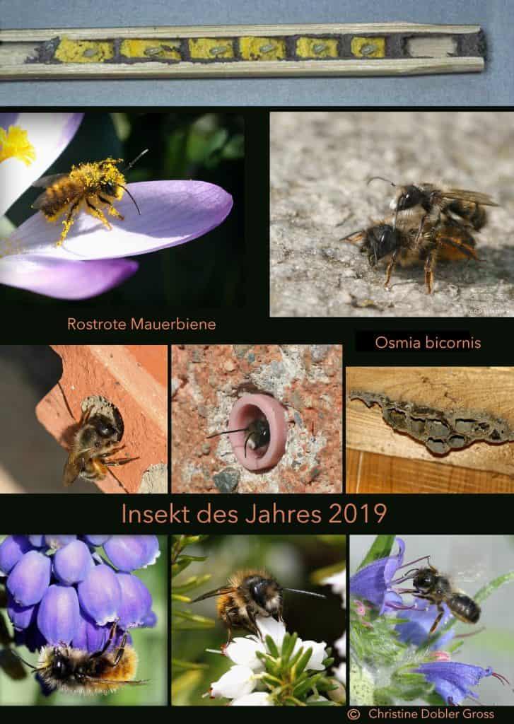 Eine Zusammenstellung von Bildern der Rostroten Mauerbiene - eine Wildbiene.