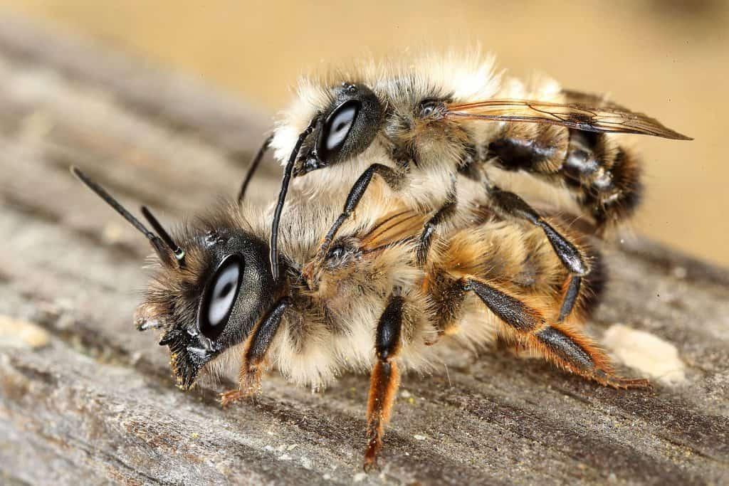 Zwei Rote Mauerbiene am Paaren.