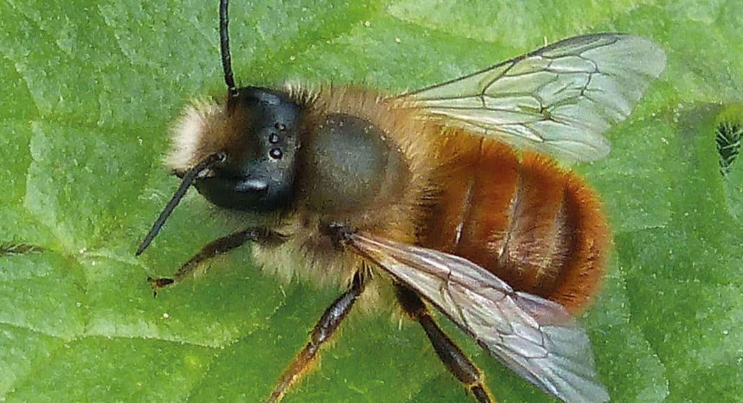 Die Rostrote Mauerbiene: Zum Insekt des Jahres 2019 gekürt 1