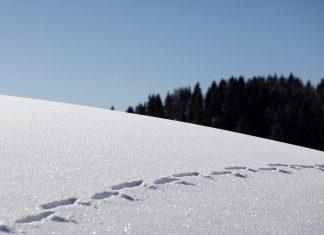 Tierspuren im Schnee.