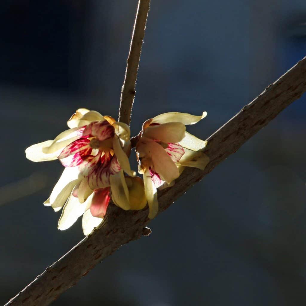 Rosa-gelbe Winterblüte im Gegenlicht.