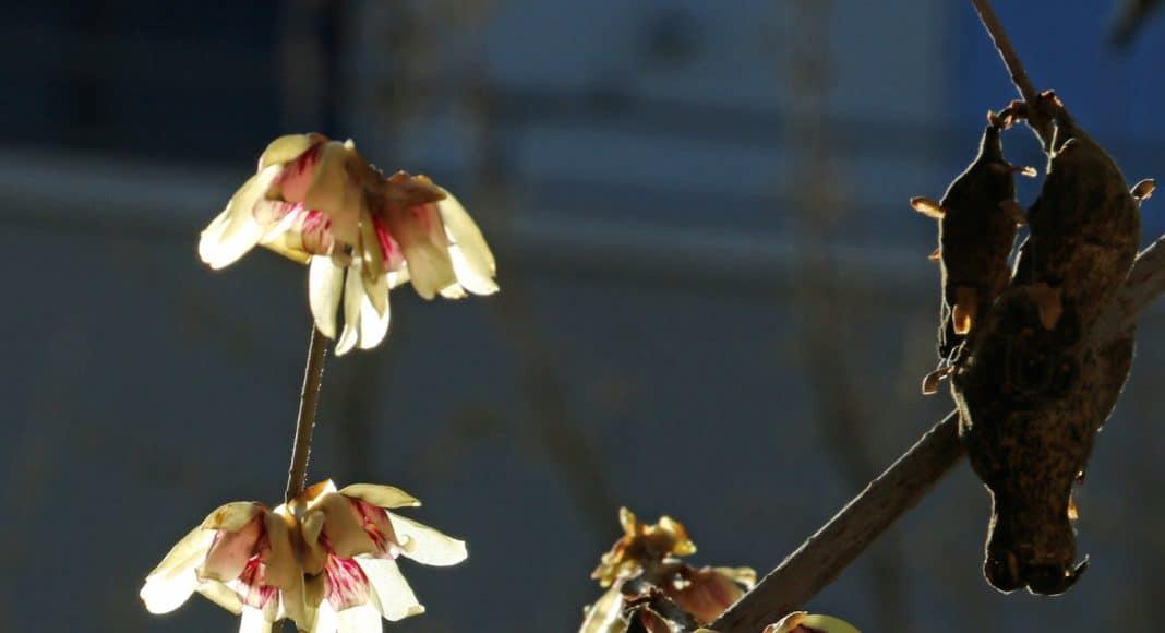 Blüten und alte Samenkapseln von einem Winterblüten Strauch.