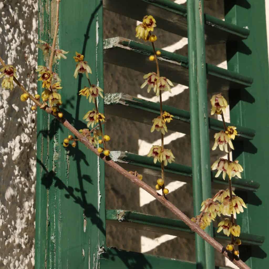 Blühender Ast des Winterblüten Strauchs vor einem Fensterladen.