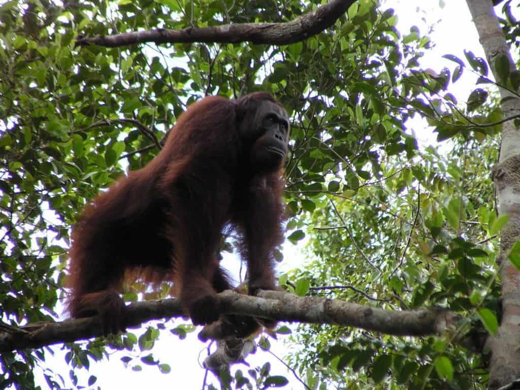 Die orang-Utans sind bedroht.
