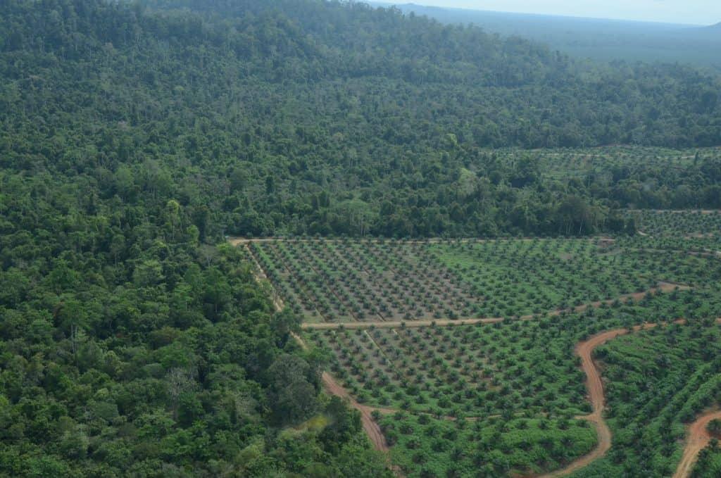 Der Lebensraum der Orang-Utans wird zunehmend zerstört, hier durch eine Palmölplantage.