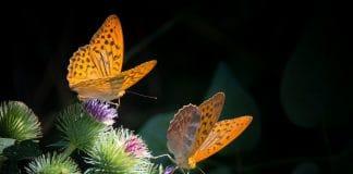 Zwei Schmetterling sitzen auf Distelblüten