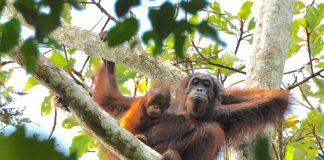 Artenverlust bei den Orang-Utans