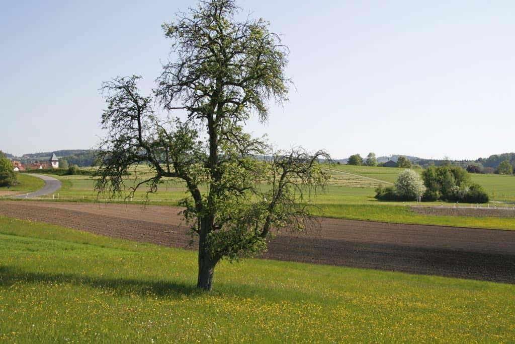 Birnbaum im Feld.