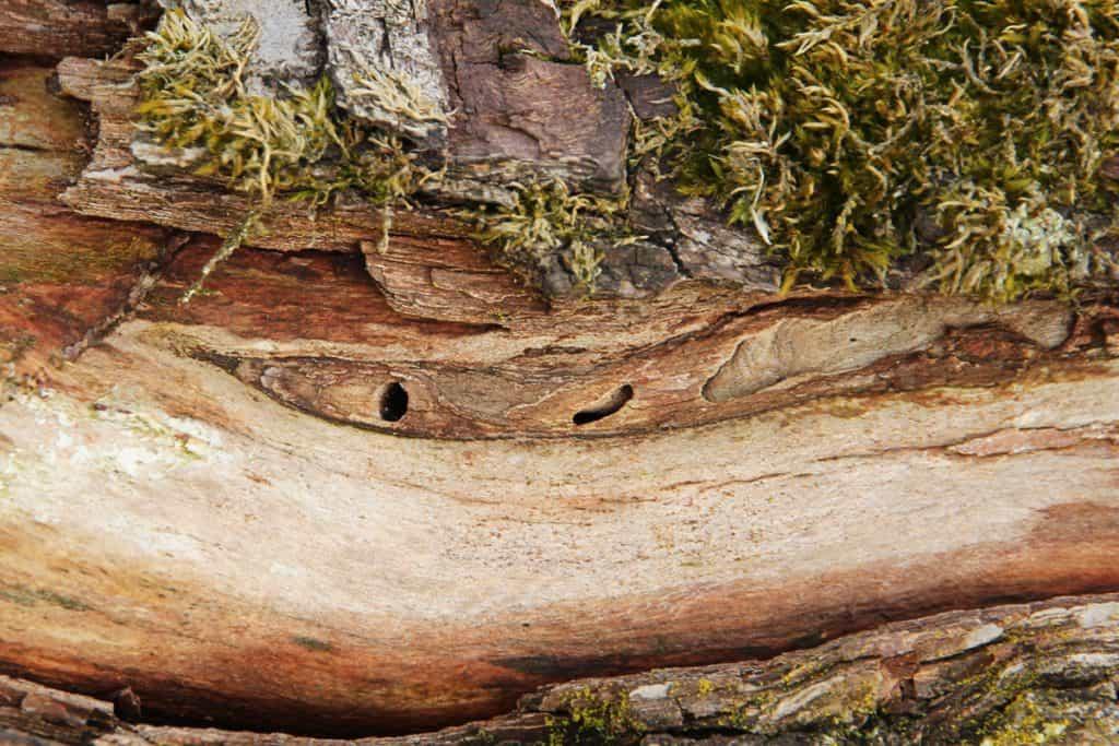 Löcher und Frassspuren im Holz.