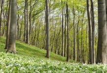 Ein Wald voll von Bärlauch.