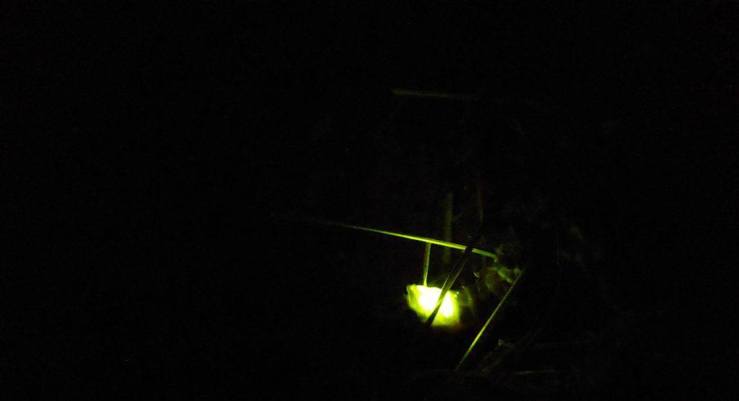 Die Glühwürmchen, welche Käfer sind und zu den Insekten gehören, leuchten wieder.
