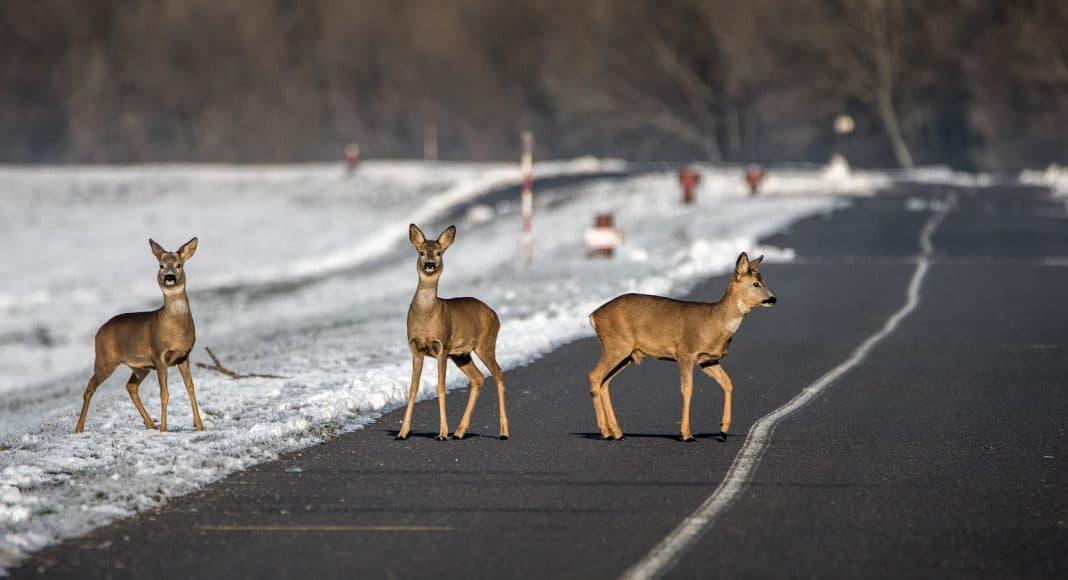 Drei Rehe wollen eine Strasse überqueren und müssen sich vor dem Verkehr in Acht nehmen.