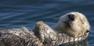 Seeotter treibt auf Wasser und döst vor sich hin.