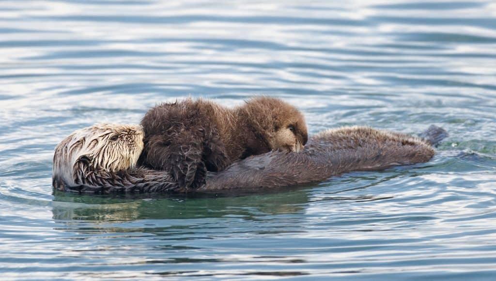 Seeotter mit Jungem