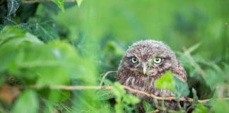 Ein junger Steinkauz sitzt im Nest.