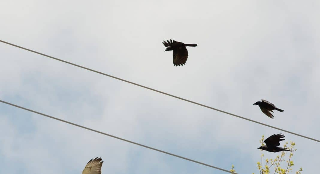Greifvögel sind häufig Opfer von «Hassangriffen», die von Aaskrähen oder Kolkraben ausgehen.