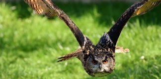 Uhu's und Greifvögel sollen in der Schweiz zukünftig sicher vor Stromleitungen sein.