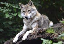 Verwirrung um den Wolf im Kanton Wallis: Es gibt kein neues Rudel.