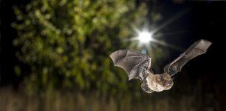Fledermäuse in den Grossstädten reagieren unterschiedlich auf die Lichtverschmutzung.