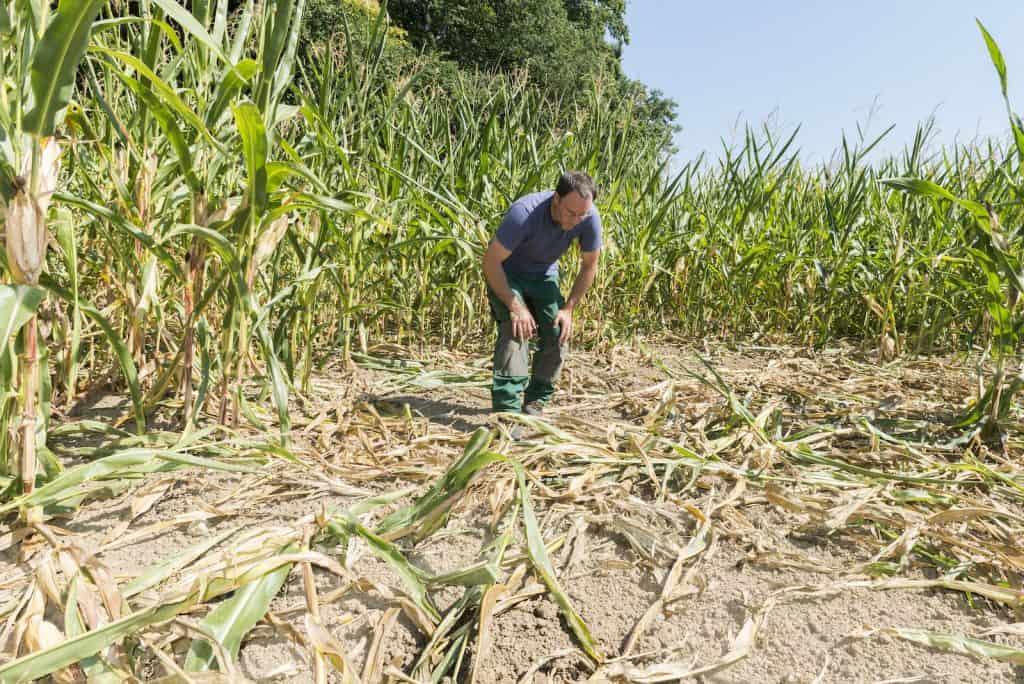 ZHAW Forscher Stefan Suter kniet in einem Maisfeld und betrachtet Schäden von Wildschweinen.
