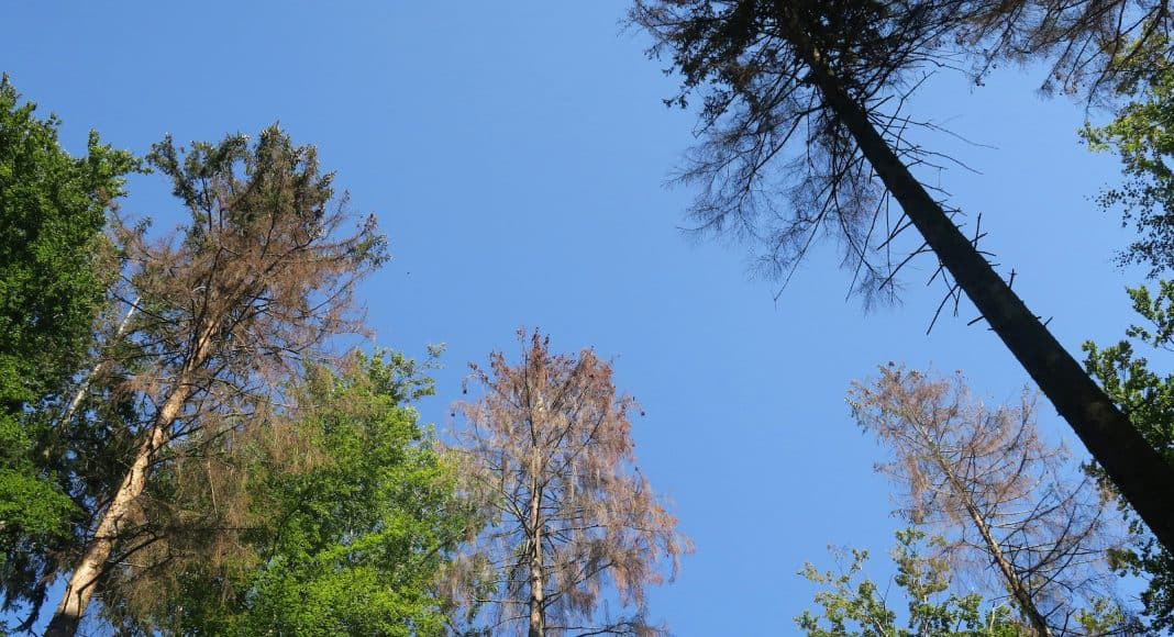 Bäume, die vom Borkenkäfer befallen sind.