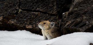 Pika, ein Pfeifhase, legt sich immer einen grossen Wintervorrat an.