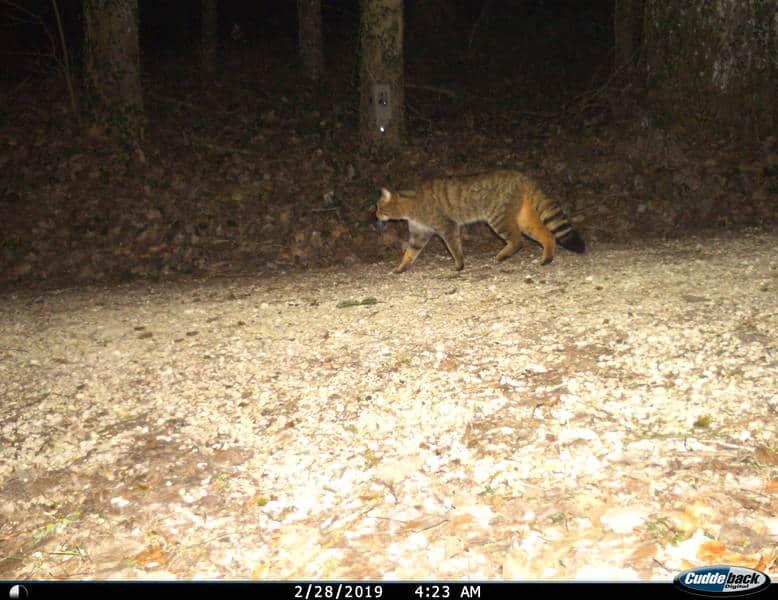 Eine Fotofalle nimmt das Bild einer Wildkatze auf.