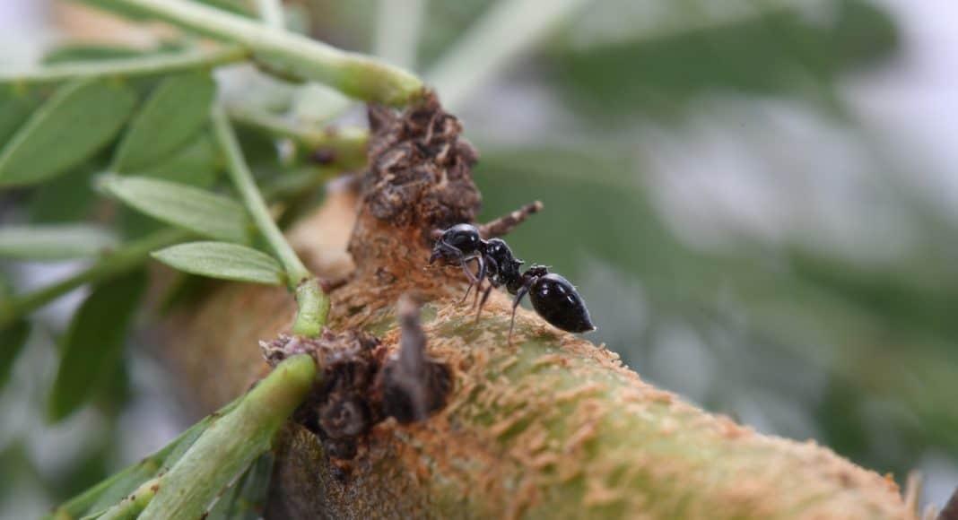 Ameise verteidigt Baum gegen Säugetiere.
