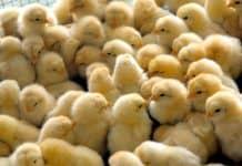 Bibeli, junge Hühner, werden nach der Geburt getötet, wenn sie das falsche Geschlecht haben.