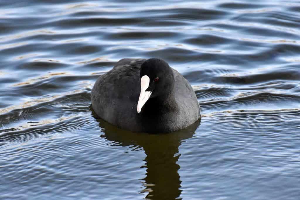 Ein Blässhuhn im Wasser.