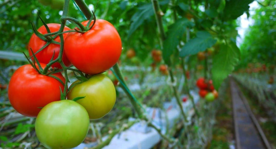 Tomaten im beheizten Gewächshaus haben eine besonders schlechte Klimabilanz.