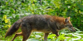 Goldschakal (Canis aureus) läuft durch einen Wald.