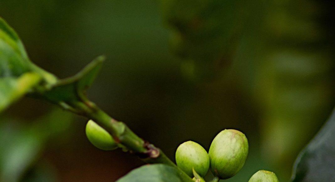 Kaffeepflanze mit Früchte.