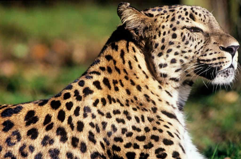 Ein Kaukasus Leopard.