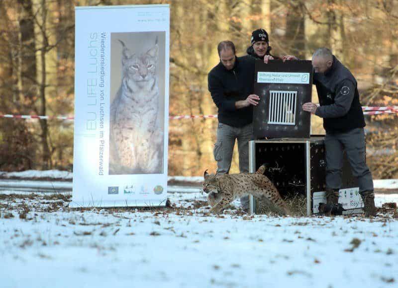 Luchsin wird im Pfälzerwald freigesetzt.