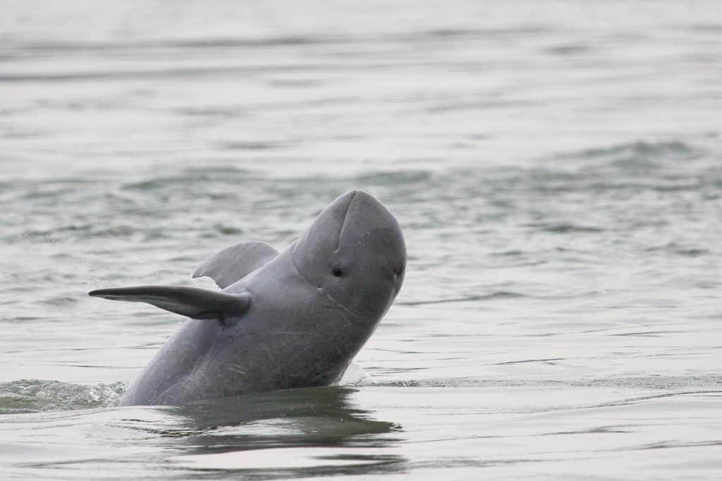 Mekong-Irawadi-Delfin ist etwas weniger bedroht.