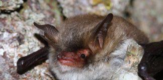 Eine neue Fledermaus wurde in der Schweiz entdeckt: Die Myotis crypticus