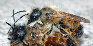 Viele Wildbienen, hier zwei Mauerbienen sind bedroht.