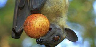 Palmenflughund hat eine Frucht im Maul.