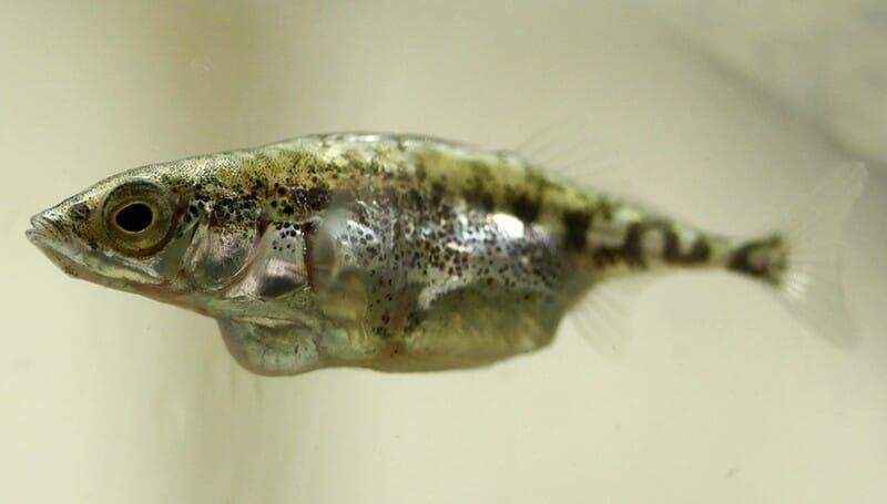 Parasiten geben ihren Nachkommen die Genetik weiter, die das Verhalten der Wirte, hier ein Stichling, besonders stark beeinflusst.