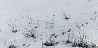 Tierspuren im winterlichen Schnee.