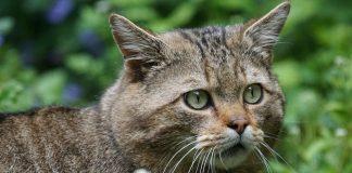 Die Wildkatze kehrt in die Schweiz zurück.
